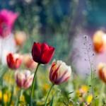 Tulpės Australija