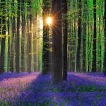 Hallerbos miškas Belgijoje